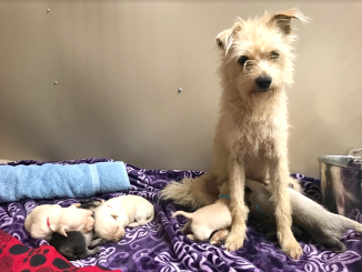 This female terrier mix, named Queen Elizabeth, and her six puppies were found in East Palo Alto. Photo courtesy of the San Mateo County Humane Society.