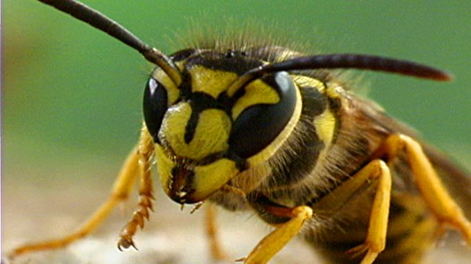 increase in yellow jackets palo alto daily post