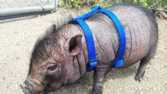 This pot-bellied pig named Lola was turned into the Humane Society in Burlingame when its owners realized she would not stay small. Photo provided by the Humane Society.