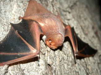Photo via inaturalist.org, not a photo of the actual bat found in Hoover Park.