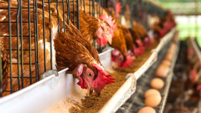Prop 12 would make egg-laying hens cage-free by 2022 - Palo