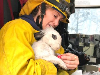 Mountain View Fire Engineer Alicia Bailey saved this bunny while opening walls to check for flame in buildings in Paradise. Photo courtesy of the Mountain View Fire Department.