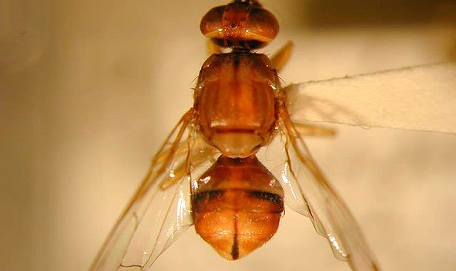 Two Peach Fruit Flies have been caught in Palo Alto. Photo by Curtis Takahashi, California Department of Food and Agriculture.